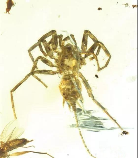 【缅甸虫珀】里发现一只长尾巴的怪物蜘蛛